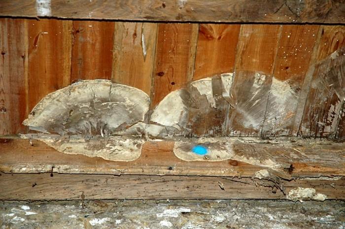 la mrule pleureuse un champignon dvastateur les meilleurs conseils pour lachat dune maison